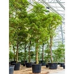 Буцида buceras Шеди Леди стебель Диаметр горшка — 90 см Высота растения — 650 см