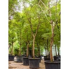 Буцида buceras Шеди Леди стебель Диаметр горшка — 105 см Высота растения — 800 см