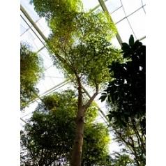 Буцида buceras Шеди Леди стебель Диаметр горшка — 95 см Высота растения — 900 см
