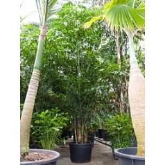 Кариота mitis куст Диаметр горшка — 85 см Высота растения — 550 см