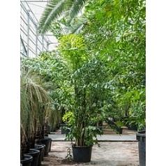 Кариота mitis куст Диаметр горшка — 70 см Высота растения — 550 см