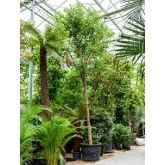 Коричник (Коричный лавр) camphora стебель Диаметр горшка — 105+ см Высота растения — 800 см