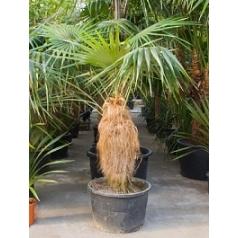 Коккотринакс crinita стебель Диаметр горшка — 80 см Высота растения — 375 см