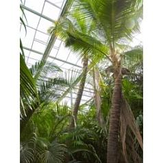 Кокосовая пальма nucifera стебель (650) Диаметр горшка — 140 см Высота растения — 900 см