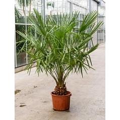 Коперниция (пальма) Альба стебель Диаметр горшка — 35 см Высота растения — 190 см