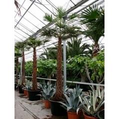Коперниция (пальма) Альба стебель Диаметр горшка — 80 см Высота растения — 375 см
