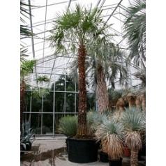Коперниция (пальма) Альба стебель Диаметр горшка — 120 см Высота растения — 600 см