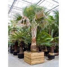 Коперниция (пальма) baileyana стебель Диаметр горшка — 140/140 см Высота растения — 550 см