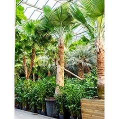 Коперниция (пальма) baileyana стебель Диаметр горшка — 135 см Высота растения — 600 см