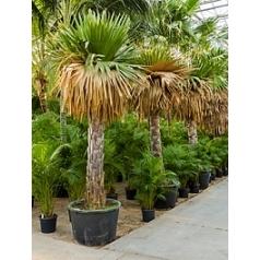 Коперниция (пальма) macroglossa стебель (160) Диаметр горшка — 90 см Высота растения — 375 см