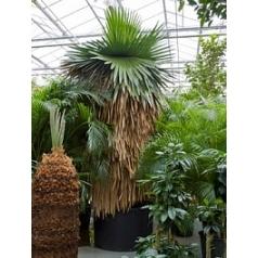 Коперниция (пальма) macroglossa стебель Диаметр горшка — 120 см Высота растения — 425 см