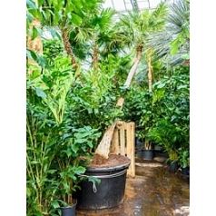 Коперниция (пальма) prunifera стебель Диаметр горшка — 110 см Высота растения — 450 см
