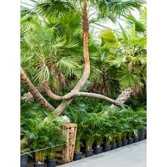 Коперниция (пальма) prunifera стебель Диаметр горшка — 110 см Высота растения — 375 см