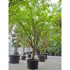 Калебасовое дерево (Горлянковое) стебель branched Диаметр горшка — 110 см Высота растения — 600 см