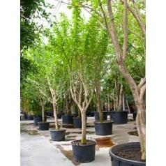 Калебасовое дерево (Горлянковое) стебель Диаметр горшка — 80 см Высота растения — 550 см