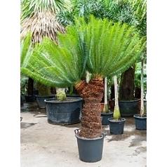 Цикас Панчжуаньский стебель 2 head Диаметр горшка — 55 см Высота растения — 230 см