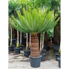 Цикас Панчжуаньский стебель Диаметр горшка — 55 см Высота растения — 230 см