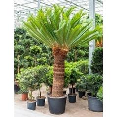 Цикас Революта стебель (120) 2-head Диаметр горшка — 60 см Высота растения — 250 см