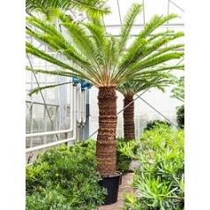 Цикас Революта стебель (140-150) Диаметр горшка — 65 см Высота растения — 275 см