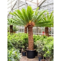 Цикас Революта стебель (160) 3-head Диаметр горшка — 60 см Высота растения — 300 см