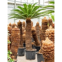 Цикас Революта стебель (170-180) Диаметр горшка — 70 см Высота растения — 325 см