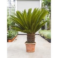 Цикас Революта стебель (40) Диаметр горшка — 45 см Высота растения — 160 см