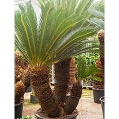 Цикас Революта стебель 2+ Диаметр горшка — 80 см Высота растения — 260 см