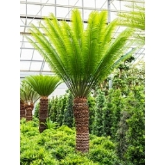 Цикас Туара стебель (150-160) Диаметр горшка — 65 см Высота растения — 325 см