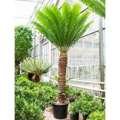 Цикас Туара стебель (170-180) Диаметр горшка — 65 см Высота растения — 350 см