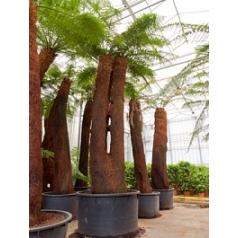 Диксония antartica multi стебель (320) Диаметр горшка — 120 см Высота растения — 475 см