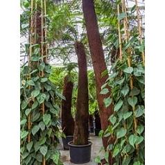 Диксония antartica стебель (375) Диаметр горшка — 80+ см Высота растения — 500 см