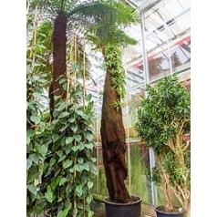 Диксония antartica стебель (425) Диаметр горшка — 100 см Высота растения — 550 см