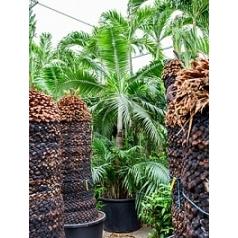 Dictyosperma album стебель Диаметр горшка — 80 см Высота растения — 400 см