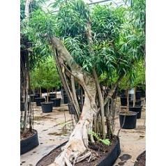 Фикус Али (Биннендийка) bonsai Диаметр горшка — 260/120 см Высота растения — 425 см