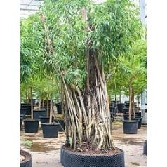 Фикус Али (Биннендийка) bonsai Диаметр горшка — 180/140 см Высота растения — 450 см