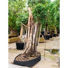 Фикус Али (Биннендийка) bonsai Диаметр горшка — 200/120 см Высота растения — 450 см