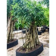 Фикус Али (Биннендийка) bonsai Диаметр горшка — 160/110 см Высота растения — 425 см