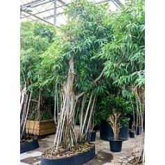 Фикус Али (Биннендийка) bonsai Диаметр горшка — 220/110 см Высота растения — 525 см
