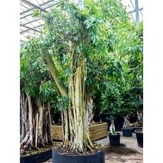 Фикус Али (Биннендийка) bonsai Диаметр горшка — 155 см Высота растения — 450 см