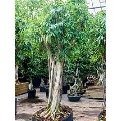 Фикус Али (Биннендийка) bonsai Диаметр горшка — 160/120 см Высота растения — 425 см
