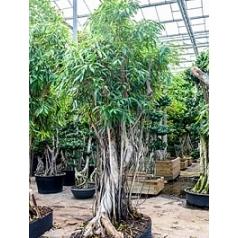 Фикус Али (Биннендийка) bonsai Диаметр горшка — 180/115 см Высота растения — 425 см