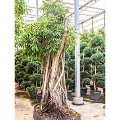 Фикус Али (Биннендийка) bonsai Диаметр горшка — 210/120 см Высота растения — 425 см