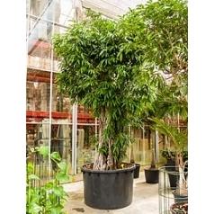 Фикус Али (Биннендийка) multi стебель Диаметр горшка — 140 см Высота растения — 500 см