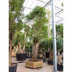 Фикус Али (Биннендийка) стебель Диаметр горшка — 145/170 см Высота растения — 650 см