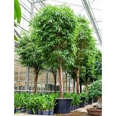 Фикус Али (Биннендийка) стебель Диаметр горшка — 110 см Высота растения — 550 см