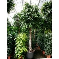 Фикус Али (Биннендийка) стебель Диаметр горшка — 65 см Высота растения — 400 см
