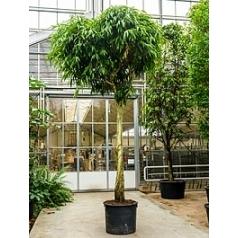 Фикус Али (Биннендийка) стебель Диаметр горшка — 80 см Высота растения — 525 см