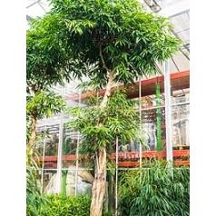 Фикус Али (Биннендийка) стебель Диаметр горшка — 95 см Высота растения — 650 см