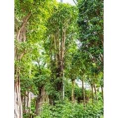 Фикус Али (Биннендийка) стебель Диаметр горшка — 110 см Высота растения — 725 см