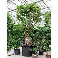 Фикус Алтиссима бонсай Диаметр горшка — 150 см Высота растения — 400 см